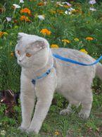 Фото: Скоттиш фолд (шотландская вислоухая) : Кот ищет КОШЕЧКУ для вязки!!! Вязка в киеве