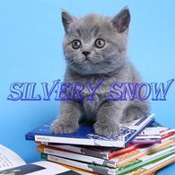 Продаем только голубые британские котята. Питомник.