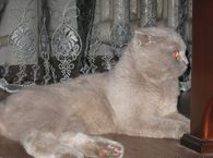 Шотландский котик приглашает на ВЯЗКУ фото