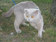 Кот ищет КОШЕЧКУ для вязки!!! Вязка в киеве фото