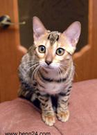 Фото: Бенгальская : Бенгальские котята