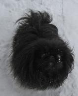 Фото: Пекинес : Черный принц пекинес,